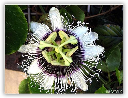 Flor de Maracujá, foto de Murilo Romeiro