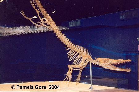 Esqueleto da Baleia Georgiacetus