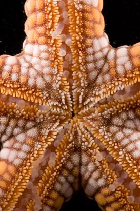 Estrela do mar Nardoa Rosea, vista por baixo.