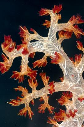 Corais macios também chamados de Octocorals, pelos 8 tentáculos na beira de cada pólipo.