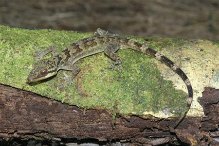 lagartixa-cyrtodactylus