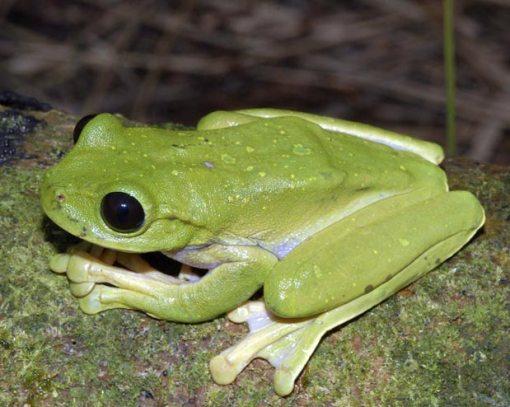 sapo-verde-de-olhos-negros