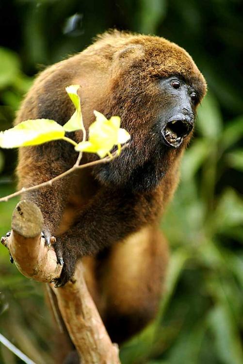 macaco-bugio-denis-ferreira-neto