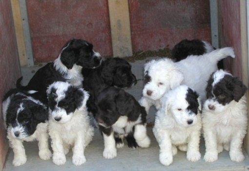 portuguesewaterdogs