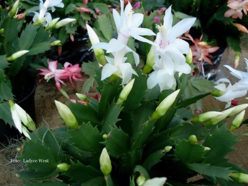 Ontem só vimos flores brancas, damasco e magenta.  Foto: Ladyce West