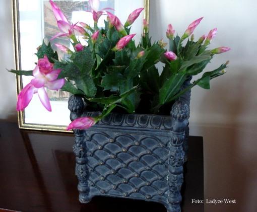 Flor de maio, fucsia, em casa