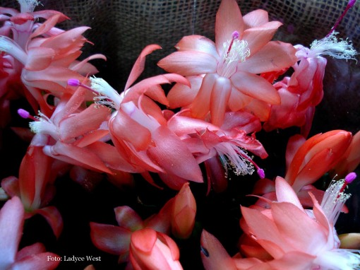 Flores cor de damasco, Foto Ladyce West