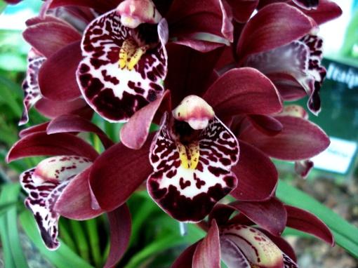 Pétalas que parecem veludo.  Orquídea.  Foto: Ladyce West