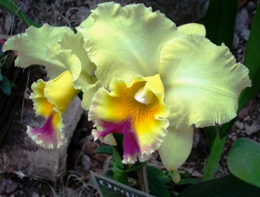 Uma orquídea de cores muito delicadas.  Foto:  Ladyce West