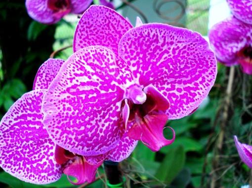 A beleza de uma das orquídeas na exposição do Jardim Botânico do Rio de Janeiro, em Maio de 2009.  Foto:  Ladyce West