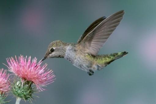 beija-flor-grande