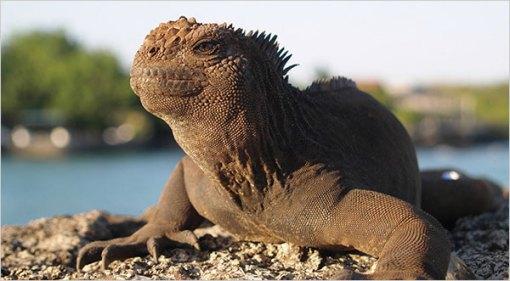 iguana marinho, foto Penelope Curtis, NYT, AP