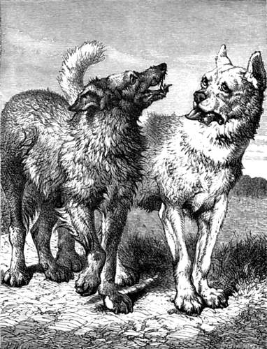 dog and wolf
