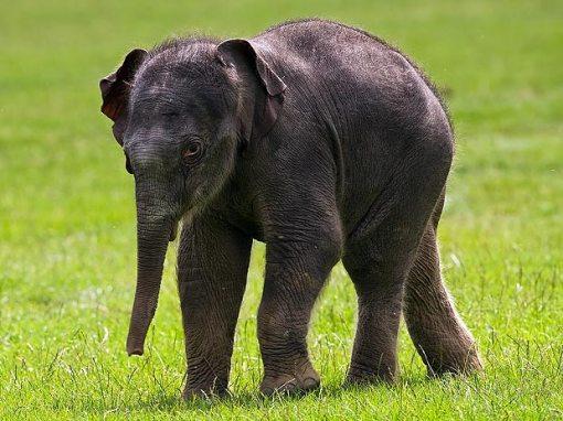 Filhote de elefante asiático nasce com 126kg