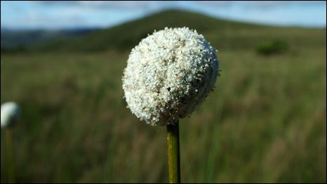 paepalanthus_globulifer, encontrada na Serra do Cipó em MG, floresce o ano todo