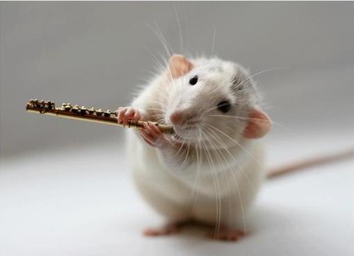 rato flautista