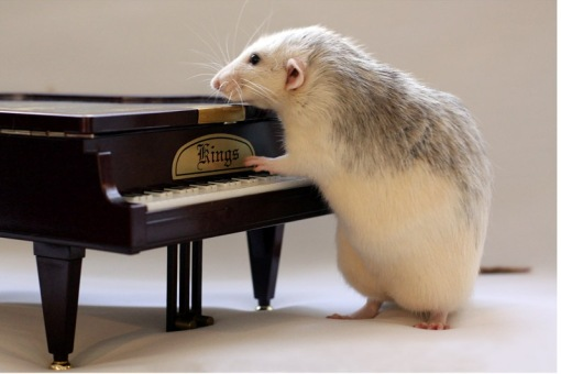 rato no piano