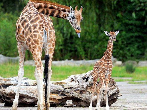 bebe girafa1