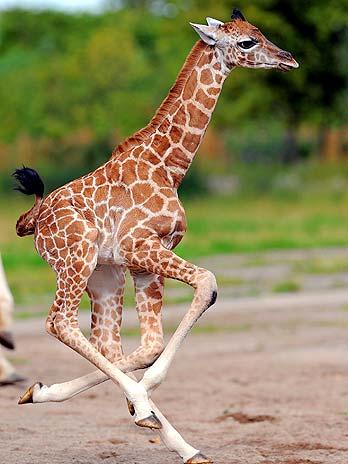 bebe girafa2