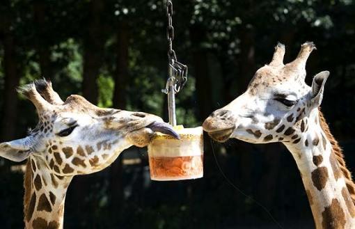 girafas holanda