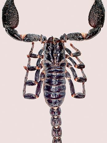 O escorpião Heterometrus nepalensis, catalogado em 2004 no Nepal, pode alcançar 8 cm de comprimento
