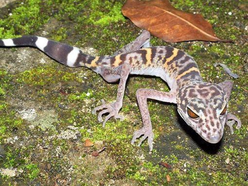 lagarto leopardo Goniurosaurus catbaensis