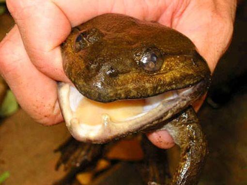 Sapo Limnonectes megastomias, come passaros e inseros tem 2 pequenas presas como arma contra machos no acasalamento