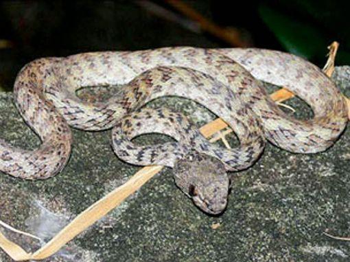 vibora corpo listrado Cryptelytrops honsonensis, provincia Kien Giang