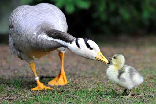 filhote e mamãe ganso
