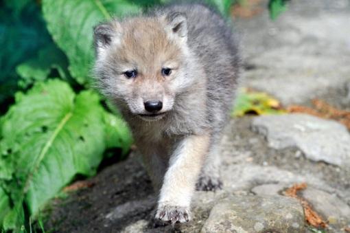 filhotinho de lobo