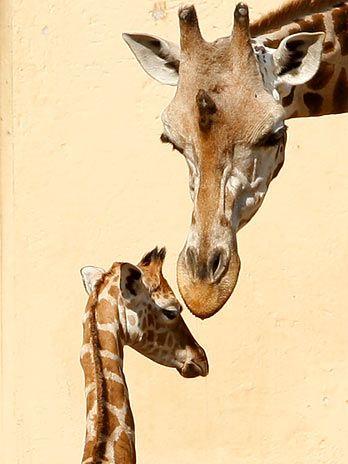 girafinha em Roma