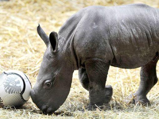 rino bebê  com bola 3-10