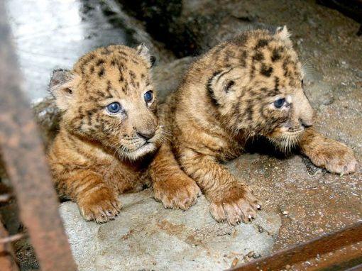tigres gêmeos