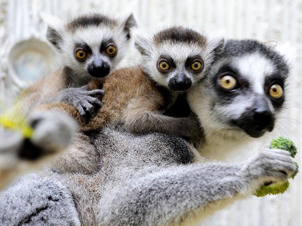 prima o poi ritorna da me ..... - Pagina 2 Lemure