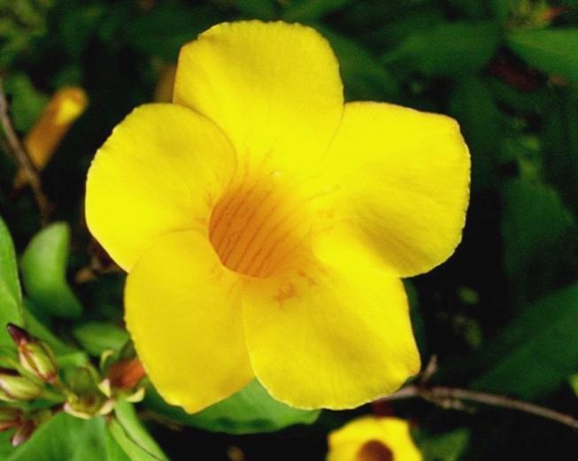 flor de jardim amarela:Suas flores, em formato conico têm 5 pétalas.