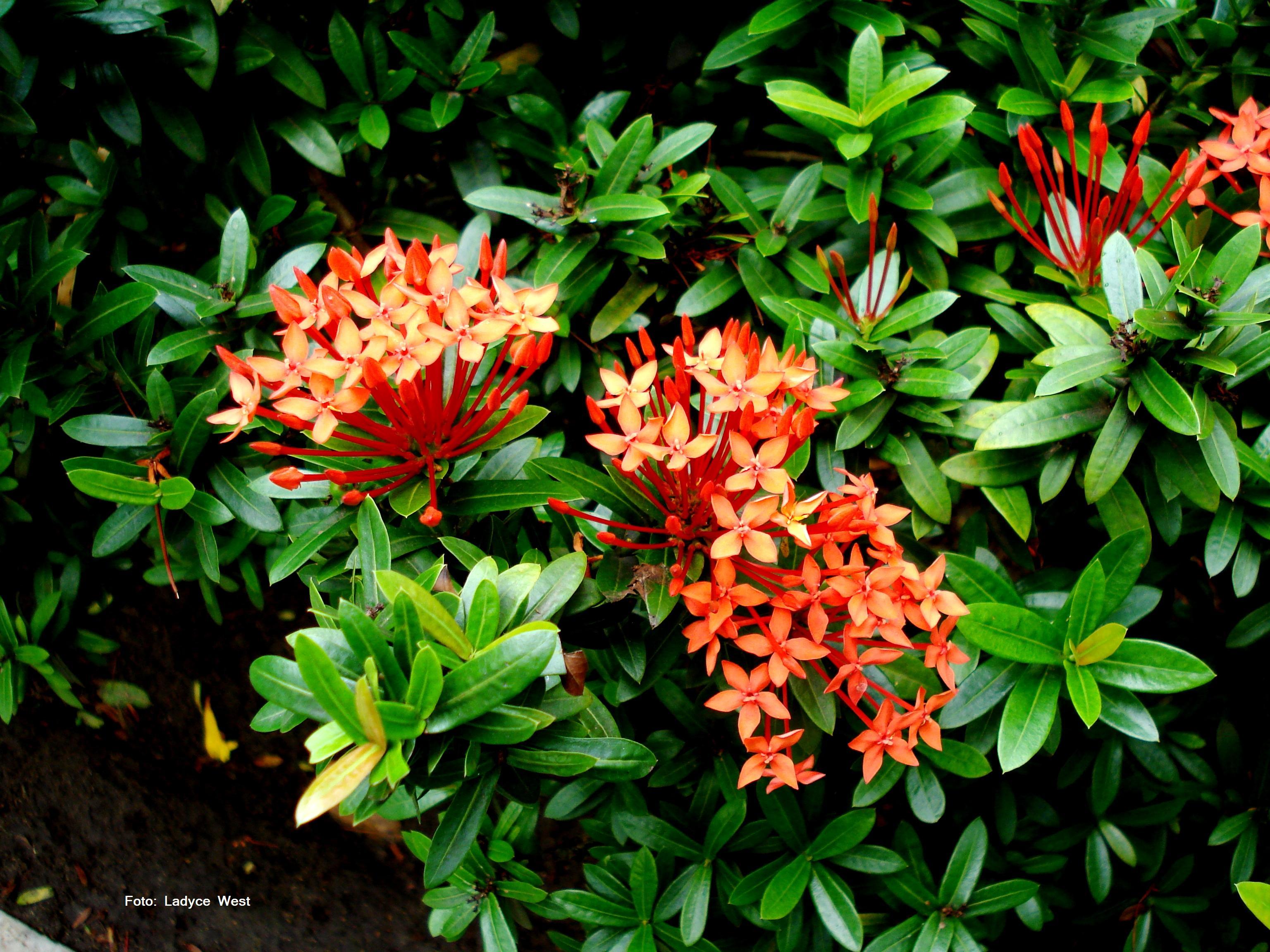plantas de jardins tipos : plantas de jardins tipos:Nome De Flores Brasileira
