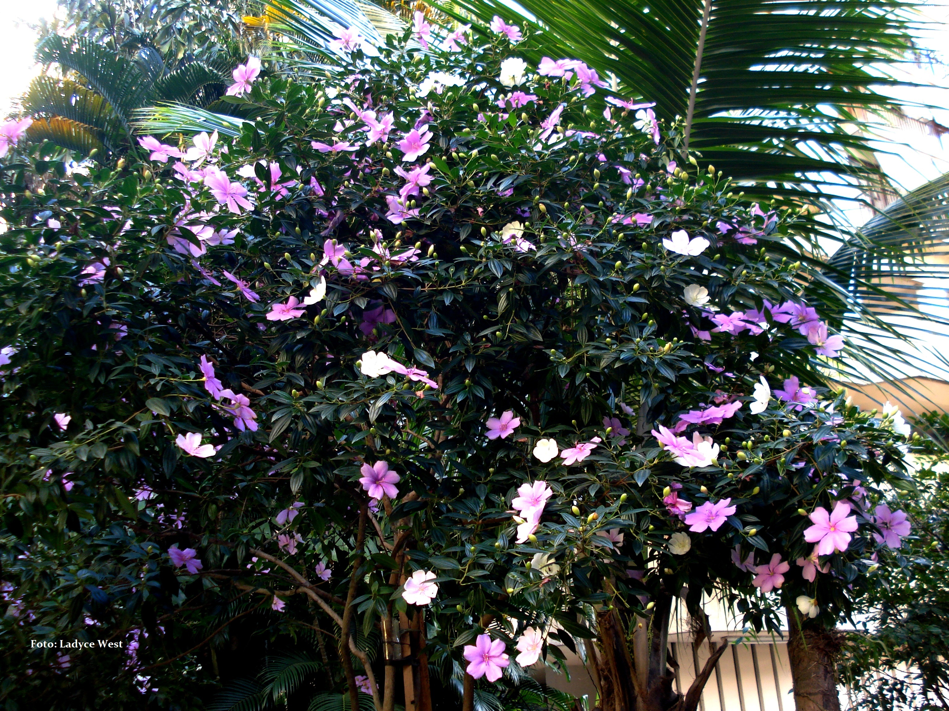 manaca de jardim em vaso : manaca de jardim em vaso:Manacá-da-serra, nos jardins de um edifício. Rio de Janeiro