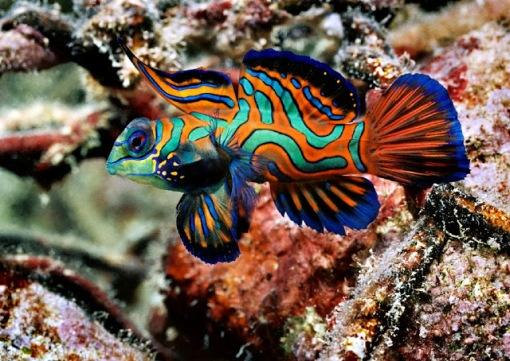 mandarin fish7