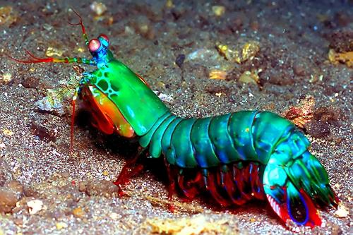 mantis-shrimp.jpg