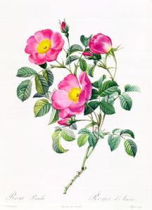 Redoute - rosa-lumila-pierre-joseph-redoute