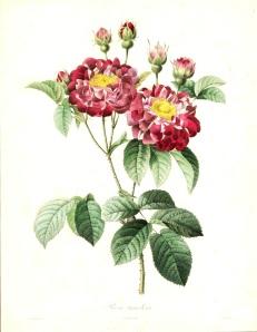 Redoute - Rose Tricolore
