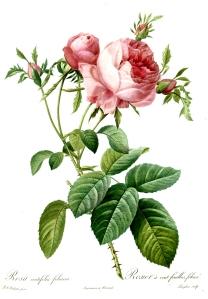 Redoute_-_Rosa_centifolia_foliacea-1000px