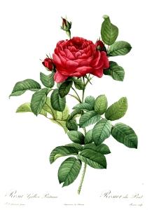 Redoute_-_Rosa_gallica_pontiana-1000px