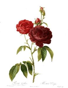 Redoute_-_Rosa_gallica_purpuro-violacea_magna