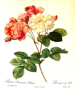 Rosa_Damascena_Celsiana_1000px