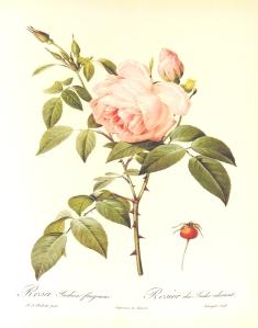 Rosa_indica_fragrans_1000px Redouté