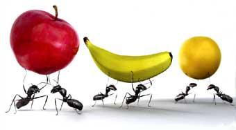 formigas com frutas