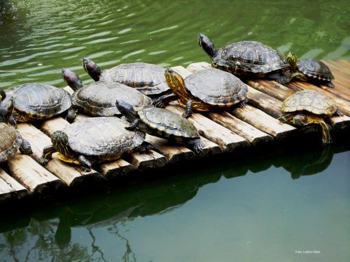 Tartarugas se esquentam ao sol no JBRJ, Foto Ladyce West