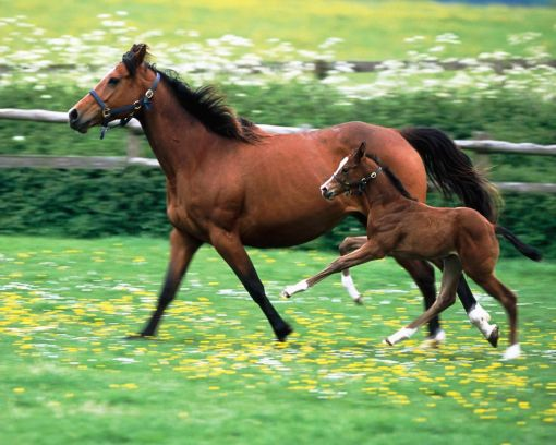 Baby-horse-hd-wallpapers