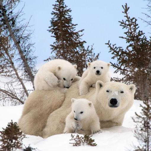 polar-bear-family-portraits.photograph, Thomas Kokta, Manitoba Canada.